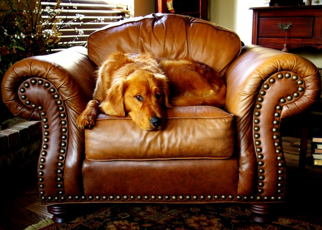 canine on a brown leather couch