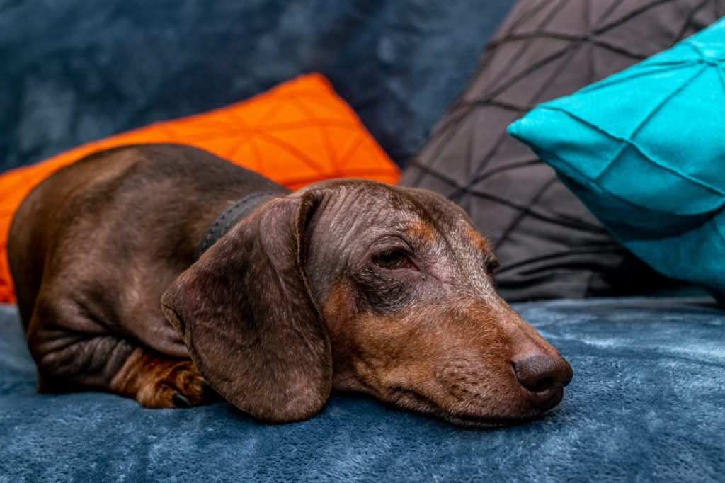 brown dachshund on a blue couch